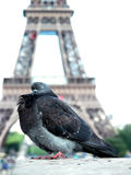 Pigeon at Eiffel tower Royalty Free Stock Photos
