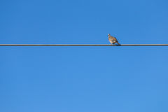 Pigeon. On an electical wire Stock Images