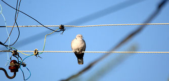 Pigeon on a electric cable Stock Photos