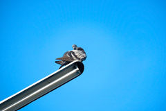 Pigeon on the electrical cable Royalty Free Stock Photography
