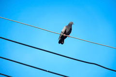 Pigeon on the electrical cable Royalty Free Stock Images