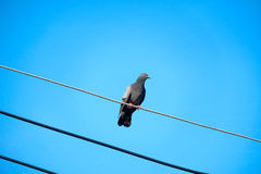 Pigeon on the electrical cable Stock Photo