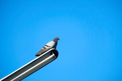 Pigeon on the electrical cable Royalty Free Stock Photos