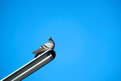 Pigeon on the electrical cable Stock Photos