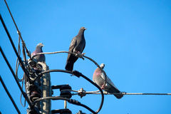 Pigeon on the electrical cable Royalty Free Stock Image