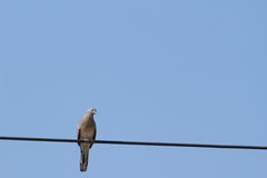 Pigeon on the electricity wire Stock Image