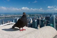 Pigeon on the Empire State Building Royalty Free Stock Photography