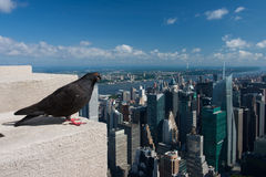 Pigeon on the Empire State Building,New York Stock Photo