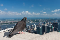 Pigeon on the Empire State Building,New York Royalty Free Stock Photography