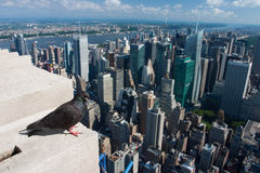 Pigeon on the Empire State Building,New York Royalty Free Stock Photos
