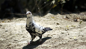 Pigeon en nature Photos libres de droits