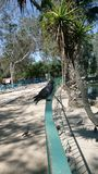Pigeon en parc image libre de droits