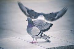 Pigeon en parc Photos libres de droits