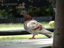 Pigeon en parc image stock