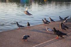 Pigeon en parc public, Thaïlande photographie stock libre de droits
