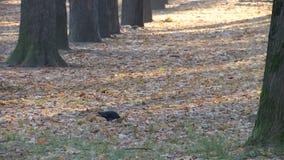 Pigeon en parc sur une traînée couverte de feuilles d'automne banque de vidéos