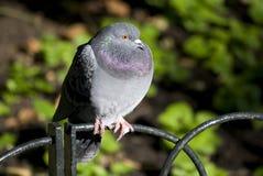 Pigeon en stationnement Photos libres de droits