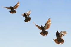 Pigeon en vol Images libres de droits