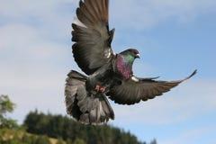 Pigeon en vol Photographie stock