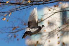 Pigeon en vol Photo stock