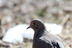 Mourning Dove in the Woods. This is a mourning dove enjoying a sunny day in the woods Royalty Free Stock Images