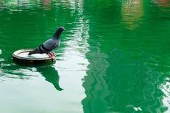Pigeon et eau Images libres de droits