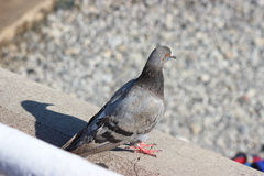 Pigeon et son ombre Photo stock