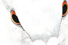 Pigeon eyes royalty free stock photo