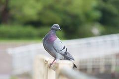 Pigeon Facing Right Royalty Free Stock Photos