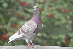 Pigeon (Fam; Columbidae) Royalty Free Stock Photos