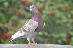 Pigeon (Fam; Columbidae) Royalty Free Stock Photography
