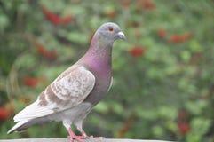 Pigeon (Fam; Columbidae) Stock Image