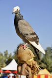 Pigeon (Fam; Columbidae) Stock Images