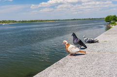 Pigeon family having vacation on the riverside Royalty Free Stock Image
