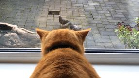 Pigeon fancier. Cat wishing to attack pigeons Royalty Free Stock Images