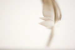 Pigeon feather. Isolated on white Stock Photo