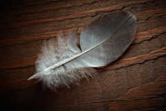 Pigeon feather. Royalty Free Stock Photography