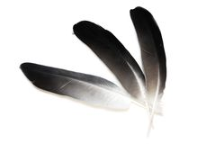 Pigeon feathers Stock Photography