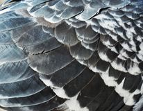 Pigeon feathers. Shining in the daylight.  Close-up Stock Photography