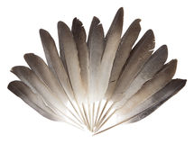Pigeon feathers Stock Image