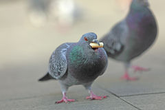 Pigeon feeding. Close-up image of a pigeon with a piece of food in the beak Stock Photos