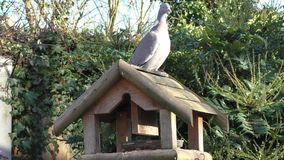 Pigeon feeding on the bird table and watching carefully stock video footage