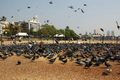 Pigeon Feeding, Chowpatty Beach, Mumbai. A special area for feeding grain to wild birds on Chowpatty Beach, Mumbai (formerly Bombay), India Stock Photography