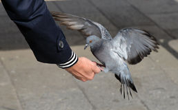 Pigeon feeding. Stock Images