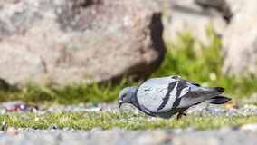 Pigeon Feeding Royalty Free Stock Image