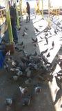 Pigeon Feeding Frenzy. Sun late afternoon Stock Photo