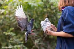 Pigeon feeding Stock Photo