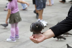 Pigeon Feeding on Hand Venice. Pigeon feeding from a woman´s hand Royalty Free Stock Photos
