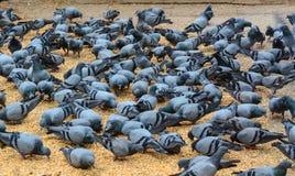 Pigeon feeding Royalty Free Stock Image