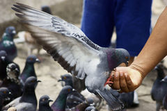 Pigeon Feeding from a Man's Hand Stock Photo
